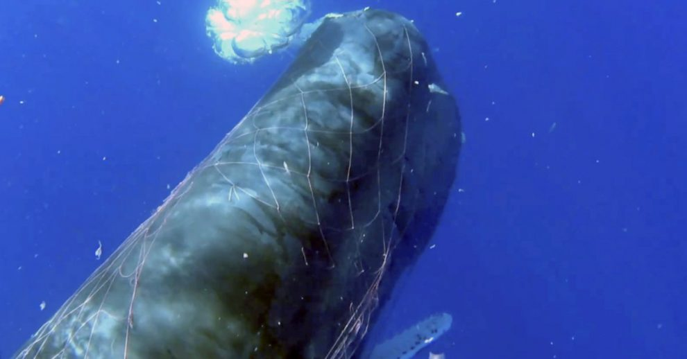 Italian Coast Guard Works to Free Sperm Whale Caught in Fishing Net