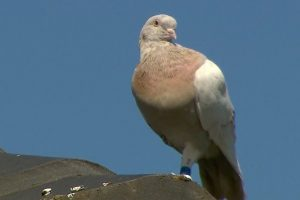 A Racing Pigeon Traveled 8,000 Miles From Oregon to Australia. Officials Want to Kill It for Violating Quarantine